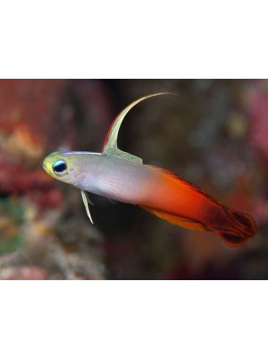 Fire Fish Goby